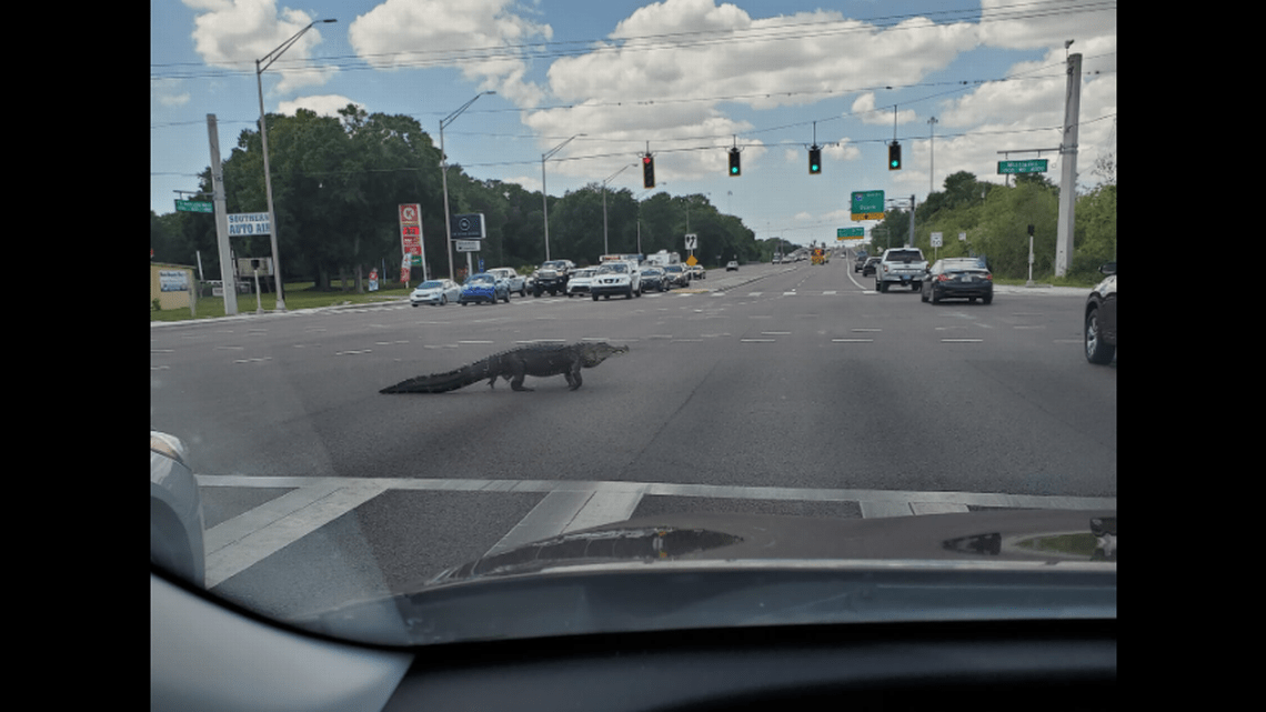 Alligator Causes Traffic, Leaving Drivers Confused On Florida Boulevard