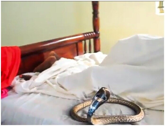 Cobra Slithers Into Hotel Where Cheating Couple Got Stuck During Sex (Video)